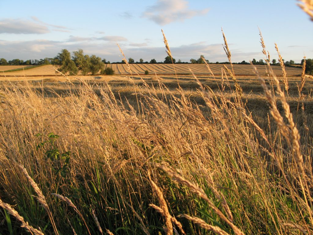 ripe wheat fields in late summer
