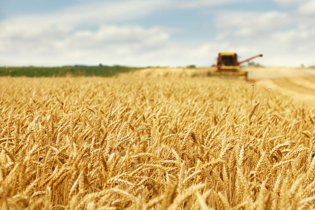 huge wheat field and combine harvester