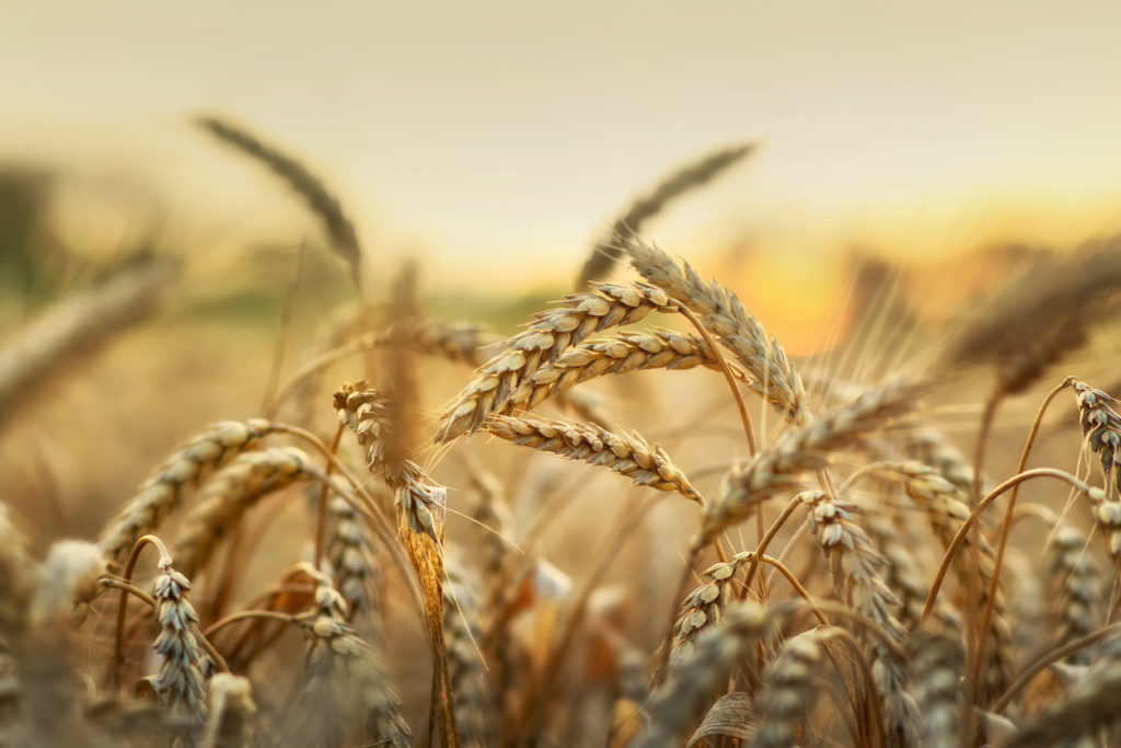 A close up of a sunny field of wheat